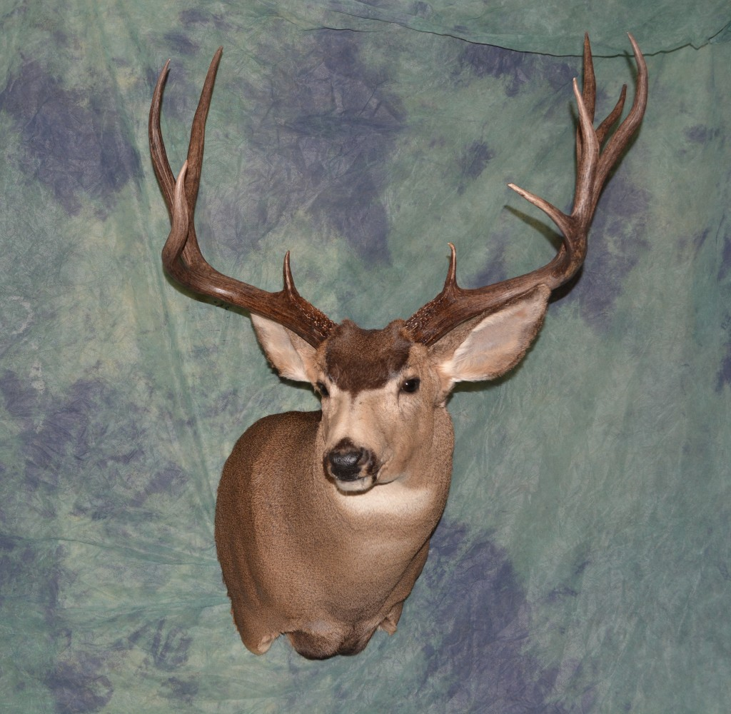 A large mule deer shoulder mount