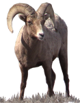 Bighorn full body mount taxidermy