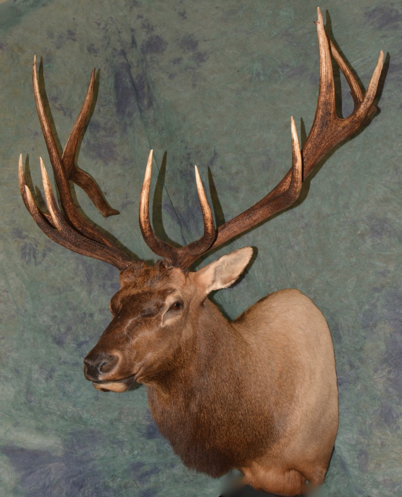 Elk taxidermy shoulder mount