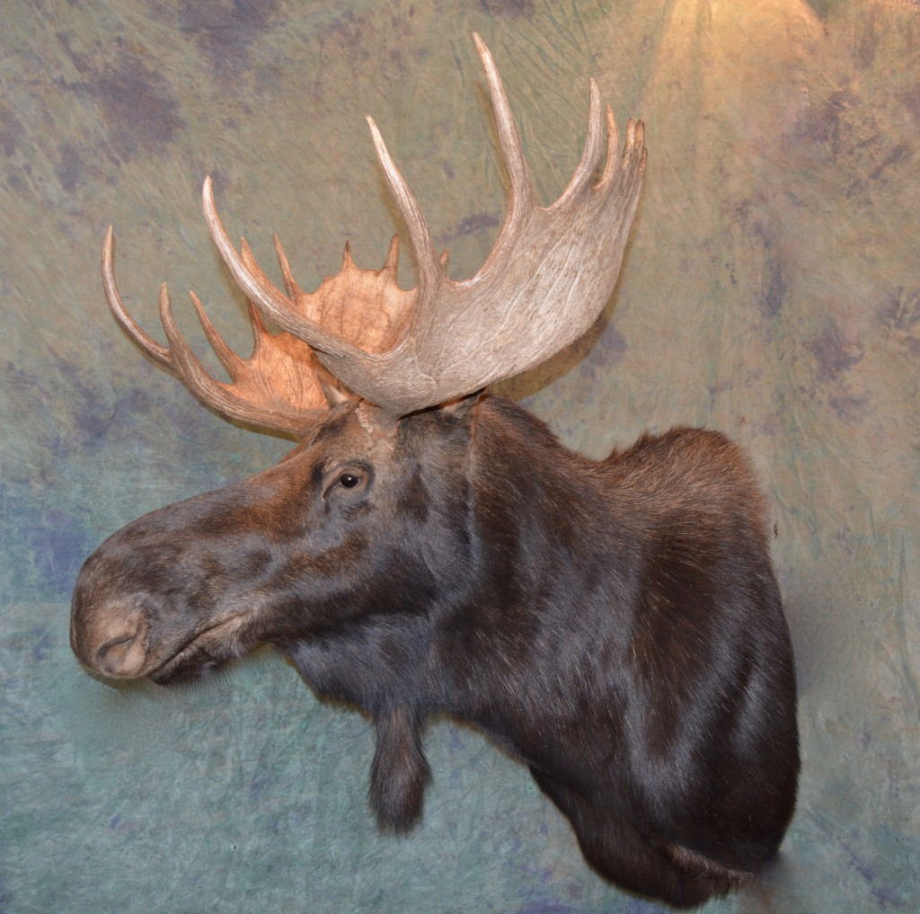 Moose shoulder mount taxidermy