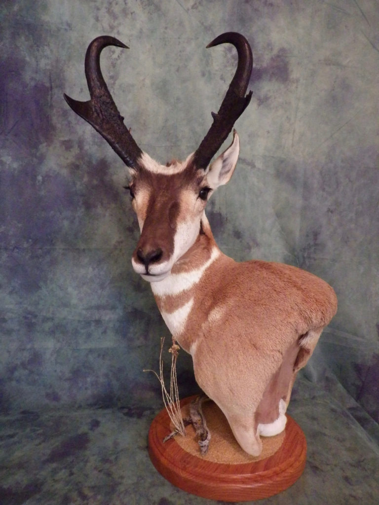 Idaho Antelope pedestal shoulder taxidermy mount
