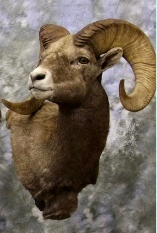 Idaho Bighorn Sheep shoulder mount