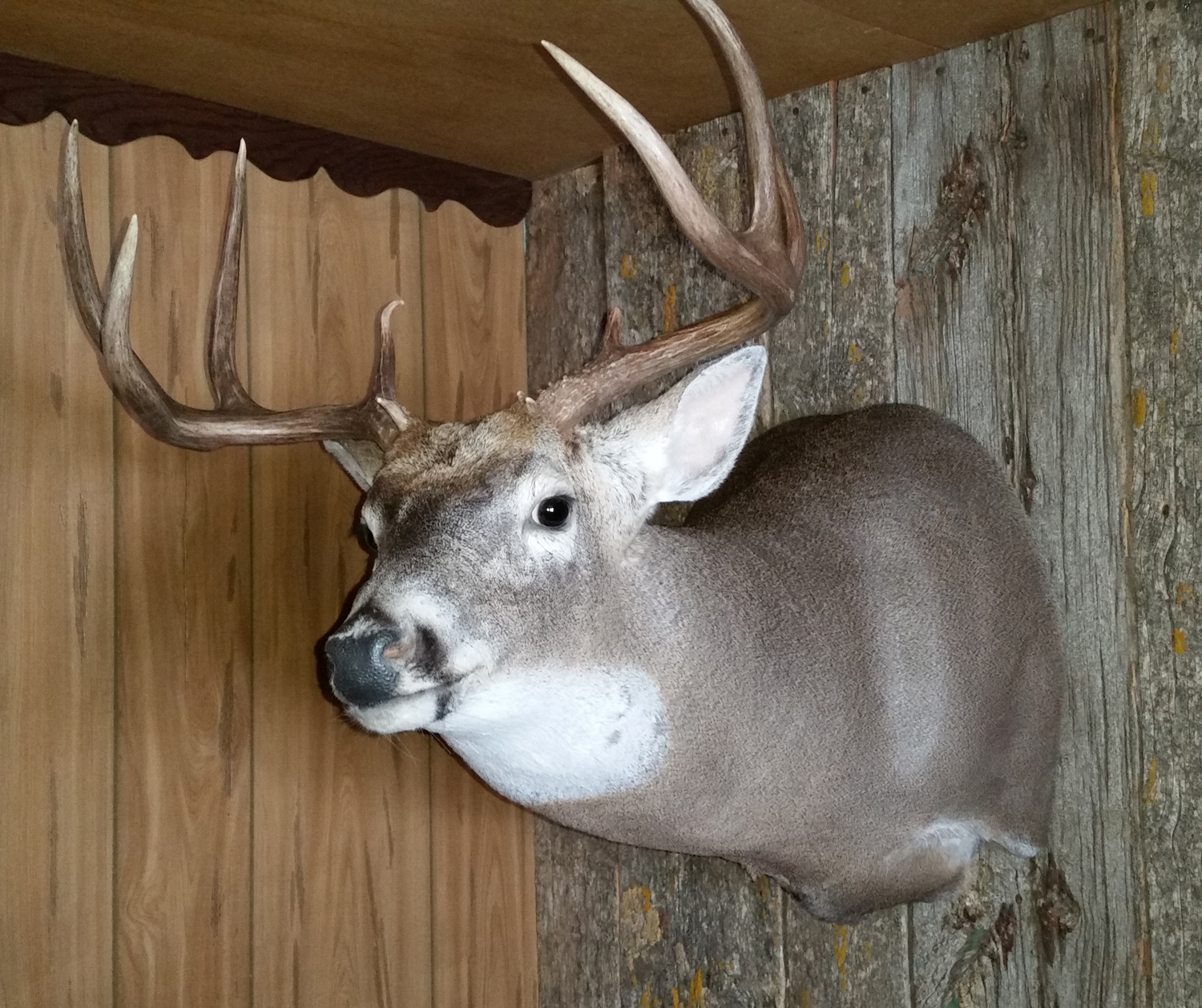 Deer Shoulder Mounts - Rivers Edge Taxidermy Studio | Licensed ... Mule Deer European Mount